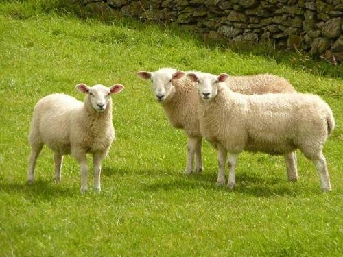 Tác dụng của nhau thai cừu trong sức khỏe và làm đẹp-2