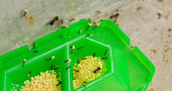 Thuốc diệt kiến của nhật có tốt không? Có tác dụng phụ gì không?1